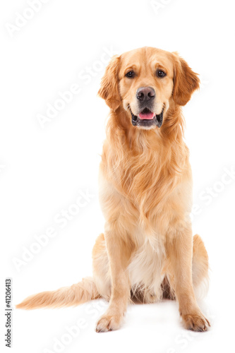 Fotografie, Obraz golden retriever dog sitting on isolated  white