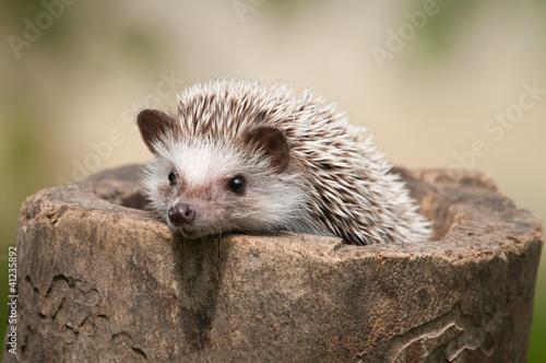 Fototapeta hedgehog in the wood