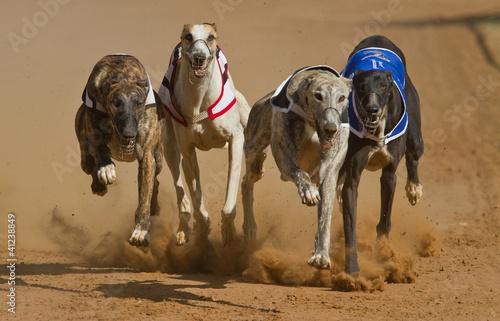 Fotografiet racing greyhouns