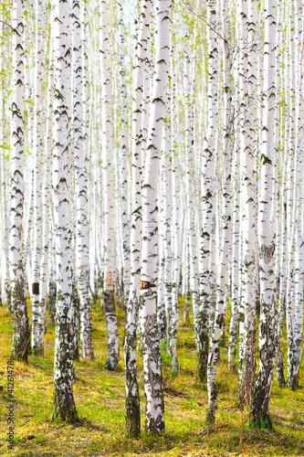 Spring in birch forest #41261478