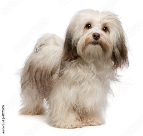 Valokuvatapetti Beautiful standing chocolate Havanese dog
