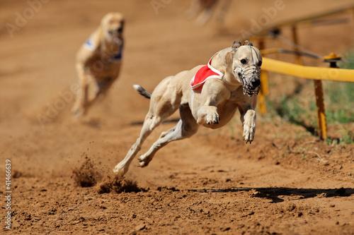 Sprinting greyhounds Fototapet