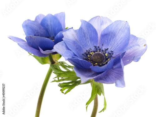 flowers of anemone Fototapet