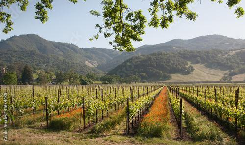 Fotografie, Obraz Poppies in the Vineyards