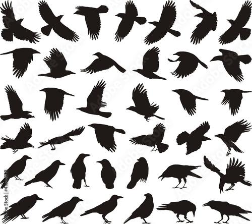 Photo Bird carrion crow