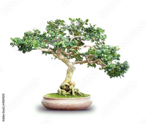 Small Bonsai Tree Isolated on White