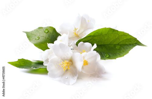 Fotografia jasmine white flower isolated on white background
