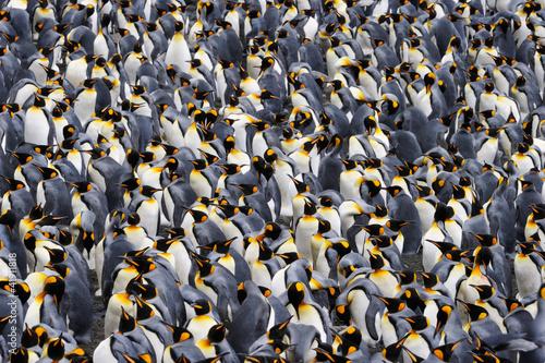 Canvas Print King penguin colony.