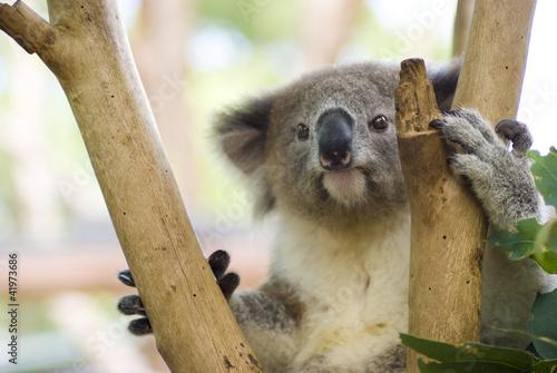 Koala in Tree at Taronga Zoo, Sydney, Australia