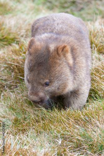 Fototapeta premium wombat