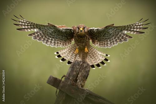 Fototapeta Female Common Kestrel in flight