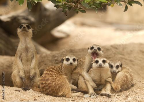 Photo Portrait group of meerkat