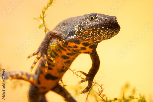 Canvas Print great crested new or water dragon