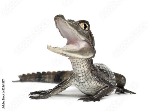 Spectacled Caiman, Caiman crocodilus