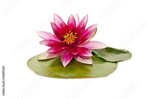 Stampa su Tela water lily on white beautiful flower