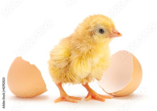 Newborn chicken Fototapeta