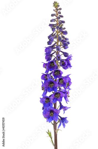 Canvas Print Delphinium flower