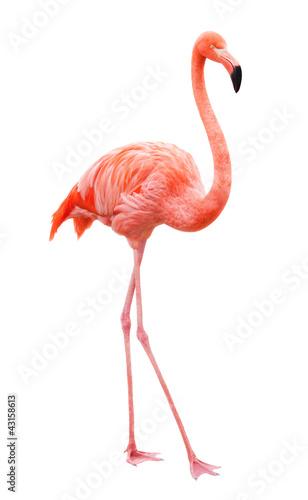Fotografia, Obraz Bird flamingo walking on a white background