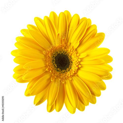 Carta da parati Yellow daisy flower isolated