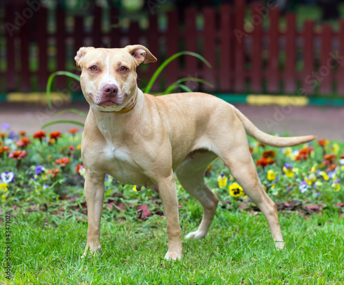 Fotografia American Pit Bull Terrier standing