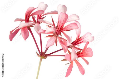 Geranium (Pelargonium peltatum) isolated on white background