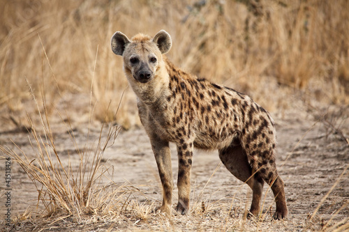 Tablou Canvas spotted hyena