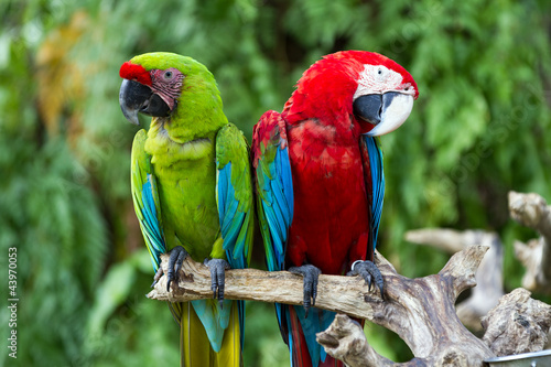 Couple of Green-Winged and Great Green macaws in the nature #43970053