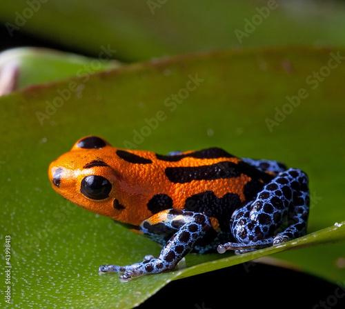 Fotografie, Tablou red striped poison dart frog blue legs