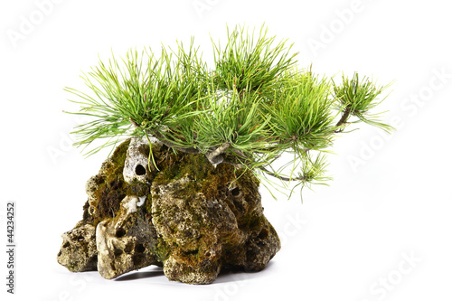 Pinus Mugo with branches and leaves in the rock