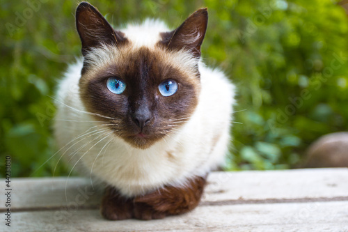 Photo View Siamese Cat