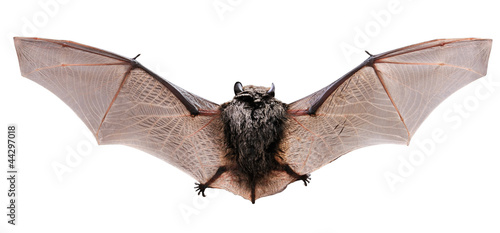 Animal little brown bat flying. Isolated on white.