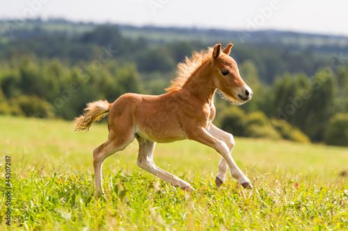 Foto Fohlen Mini-Pferd Falabella