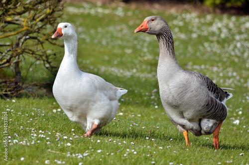 Geese walking on grass