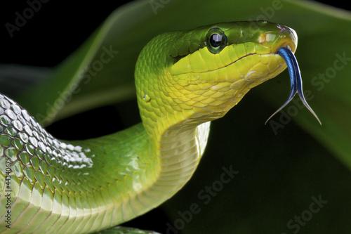 Green ratsnake / Gonyosoma oxycephalum