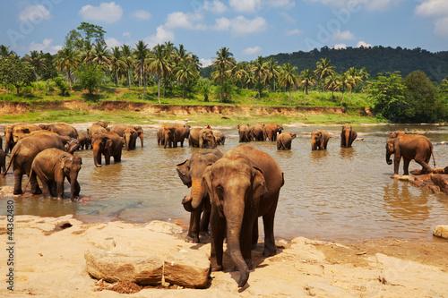 Canvas Print Elephant on Sri Lanka