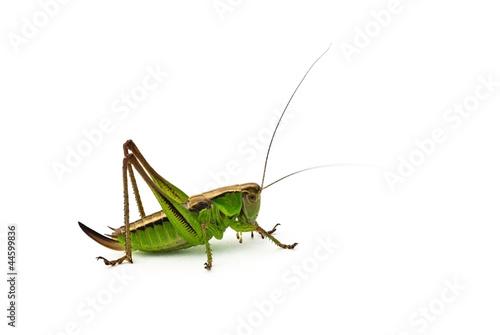 Fotografia Grasshopper
