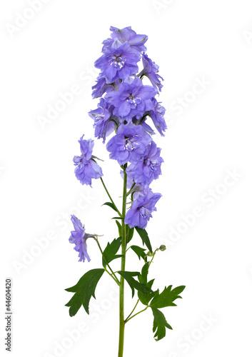 Photo blue delphinium