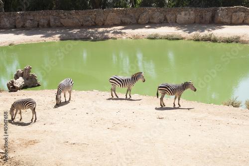 Carta da parati Zebras grazing in Lake