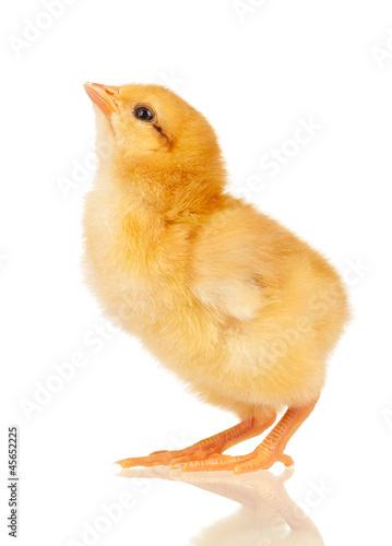 Canvas Print Little chicken