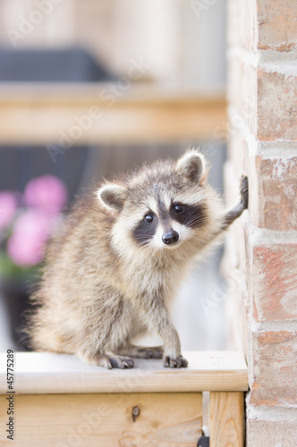 Canvas Print Juvenile ginger-haired raccoon leaning on wall