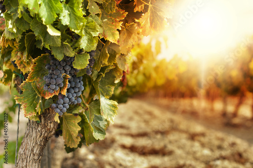 Fototapeta Vineyards at sunset