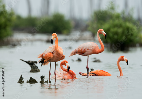 Caribean Flamingo bathing #45924425