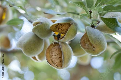 Foto Almonds on tree