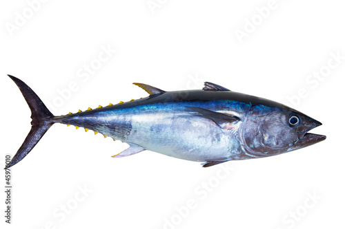 Bluefin tuna really fresh isolated on white