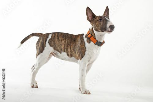 Miniature Bull Terrier Fototapeta