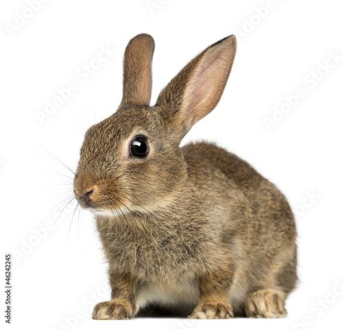 European rabbit or common rabbit, 2 months old Fototapete