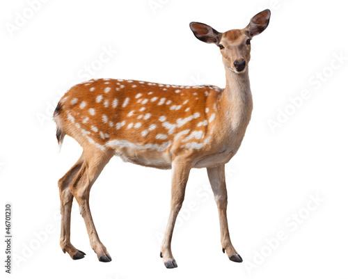 Wallpaper Mural Fallow Deer