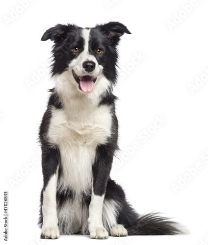 Fotografía Border Collie, 1.5 years old, sitting and looking away