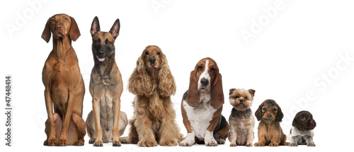 Photo Group of brown dogs sitting, from taller to smaller