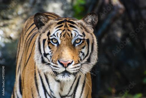 Canvas Print The big Bengal tiger